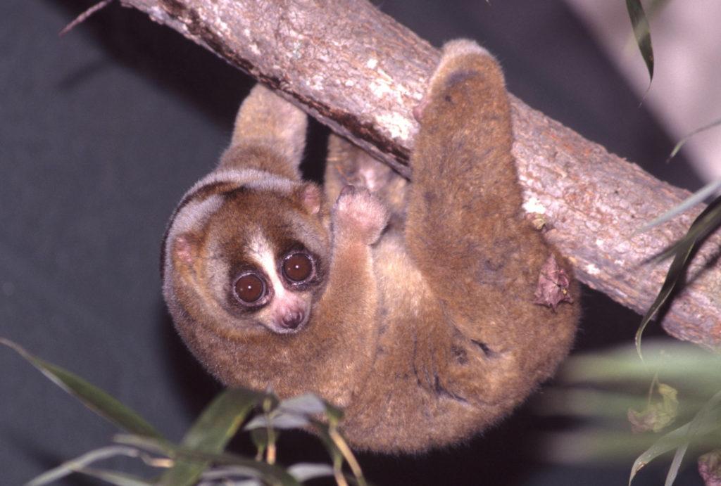 Lemur_hanging